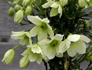 Hebe Society - NZ Plants C - Clematis 'Early Sensation'