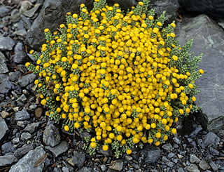 helichrysum intermedium syn helichrysum selago var intermedium is an ...