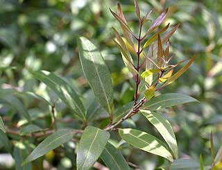 Hebe Society Nz Plants N Nestegis Lanceolata